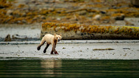 Grizzlies of the Great Bear Rainforest